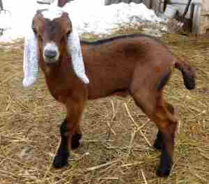 Нубийские козы описание породы фото
