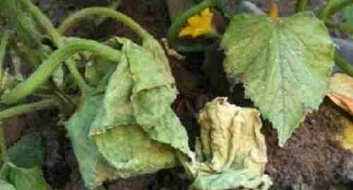 Фузариоз вызывает быструю гибель растения, которое увядает буквально на глазах