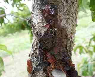 болезни листьев груши описание с фотографиями и способы лечения