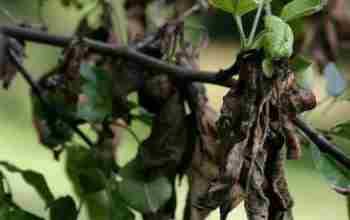 Видео о болезнях груш и способах лечения