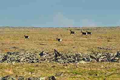 Новоземельские северные олени