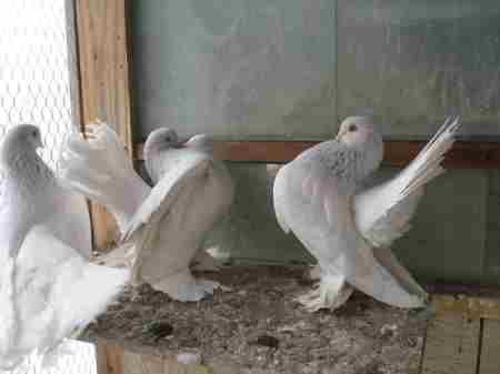 Спортивные, летные, декоративные и мясные породы домашних голубей
