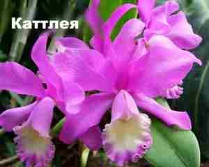 Лиловые цветы орхидеи