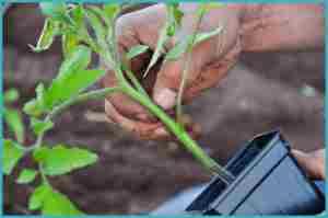 Когда высаживать томаты в теплицу