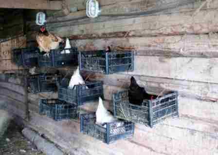 Куры в плане выбора места для кладки яиц существа очень привередливые, они могут проигнорировать на ваш взгляд удобное гнездо и начать нестись в совершенно неподходящем для этого месте. Поэтому перед тем, как обустраивать гнездо