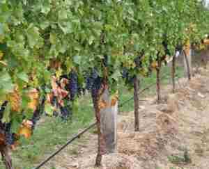 Виноград подмосковья