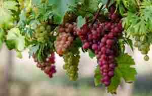 Виноград русский ранний описание сорта фото