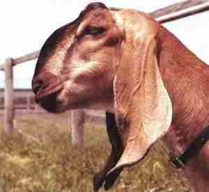 Англо нубийские козы крупно профиль фото