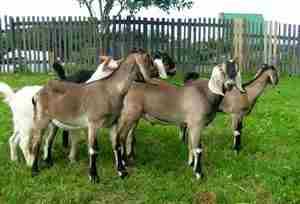 Англо нубийские козы на выгуле фото