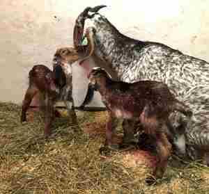 Англо нубийские козы в помещении фото