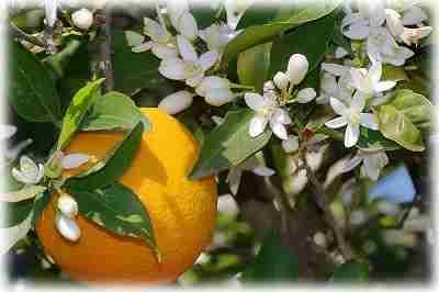 Апельсиновое дерево уход в домашних условиях
