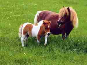 Порода пони