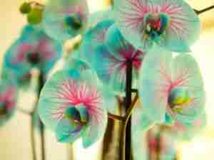 Нежно голубая орхидея