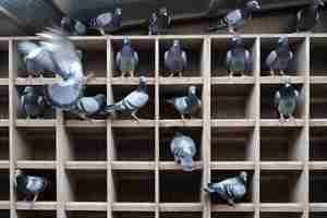Как ухаживать за голубями в домашних условиях