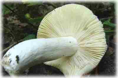 Пластинчатый съедобный гриб