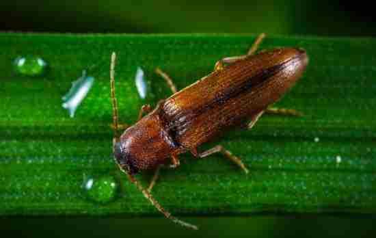 проволочник – это личинка жука-щелкуна, обитающего по всей территории нашей страны