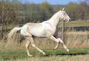 Особенности изабелловой породы лошадей
