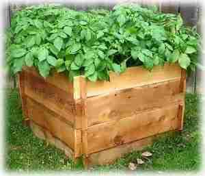 Выращивание картошки к коробах и ящиках