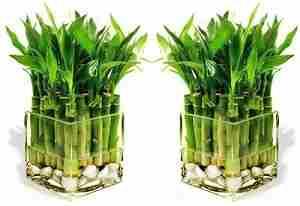 Удобрение комнатных растений нашатырным спиртом