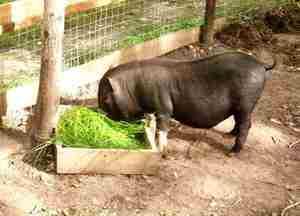 Ежедневный рацион вьетнамской свиньи