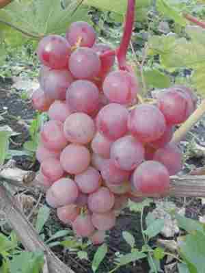 фото и описание сорта винограда Новый Русский