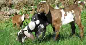 Нубийские козлята фото