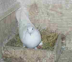 Описане породы голубей