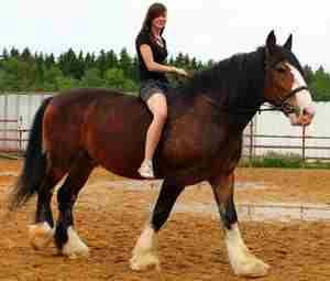 Применение лошади владимирского тяжеловоза