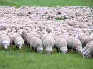 Особенность породы овец меринос