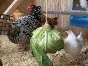 Курам необходимо давать свежие овощи