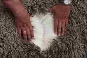 Как кормят овец меринос