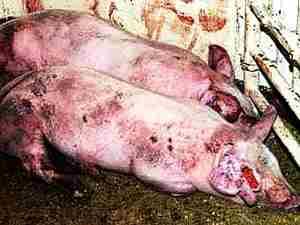 Чума у свиней ((Pestis suum) - первые симптомы