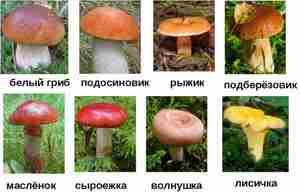 Полезные съедобные грибы
