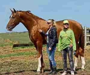 Особенности продажи  будённовской породы лошадей