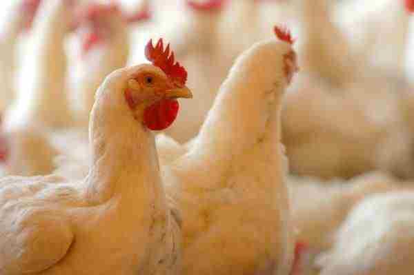 Продолжительность жизни курицы