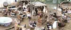 Птичий двор фото