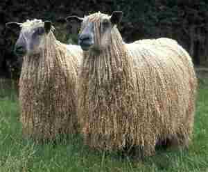 Овца русская длинношерстная - фото породы