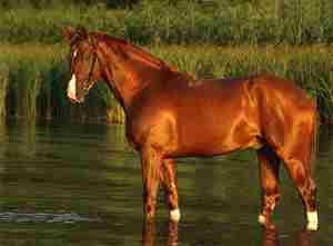 Характеристика рыжей масти лошадей