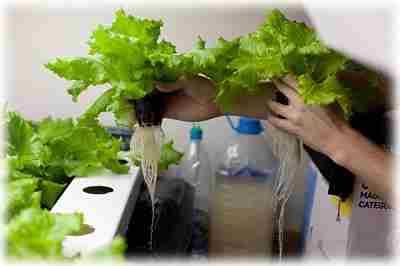 Салат из самодельной гидропонной установки