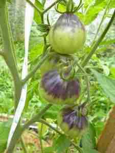 томат Синяя груша