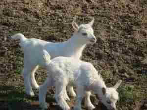 Сколько длится период беременности у коз