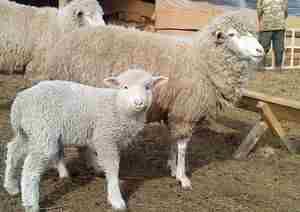 Как ухаживать за овцами меринос