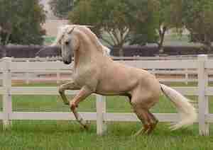 Описание внешнего вида соловой масти лошадей