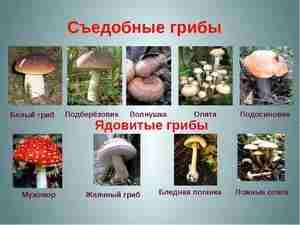Способы определения съедобных грибов