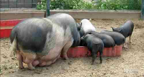 кормление свиней вьетнамской породы