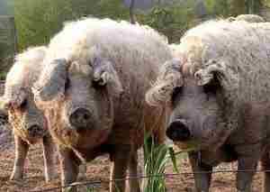 Условия содержания свиньи венгерской Мангалицы