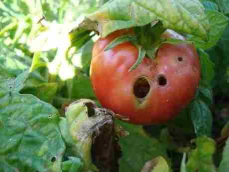 Поврежденный томат