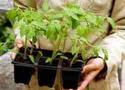 рассада томатов из семян