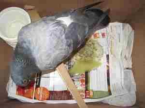 Как определить стадию заболевания у голубя