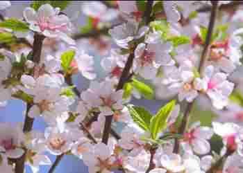 Весенняя подкормка плодовых деревьев